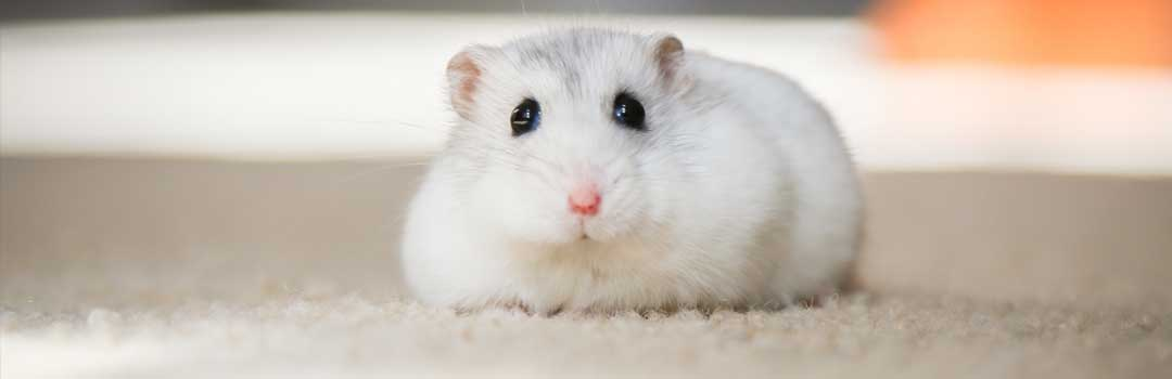 A single white pet rat looking scared